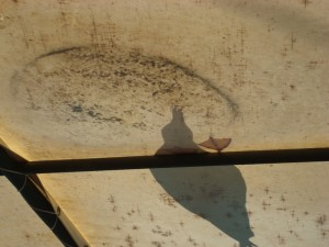 seagull drinking from roof puddle